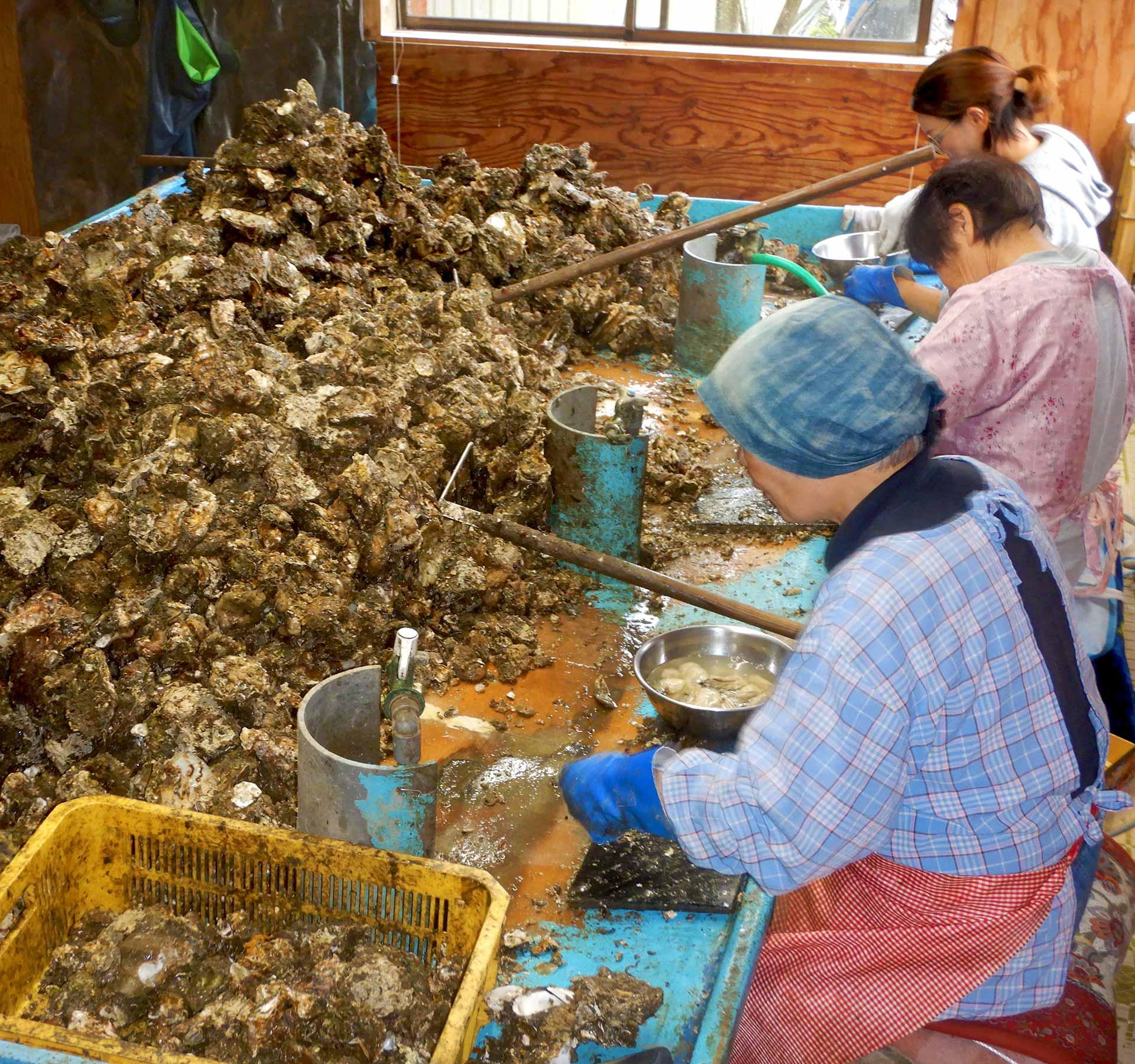 手作業で牡蠣むき